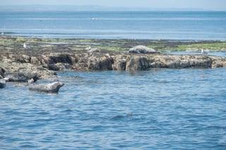 Seals at Farne Island_north east England