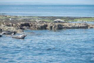 Seals at Farne Island_north east England
